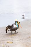 Pelicans on Ballestas Islands,Peru  South America in Paracas National park. Stock Images