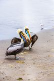 Pelicans on Ballestas Islands,Peru  South America in Paracas National park Royalty Free Stock Images