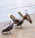 Pelicans on Ballestas Islands,Peru  South America in Paracas National park Stock Photography