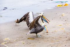Pelicans on Ballestas Islands,Peru  South America in Paracas National park Royalty Free Stock Photo