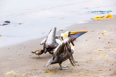Pelicans on Ballestas Islands,Peru  South America in Paracas National park. Royalty Free Stock Images