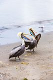 Pelicans on Ballestas Islands,Peru  South America in Paracas National park. Royalty Free Stock Photos