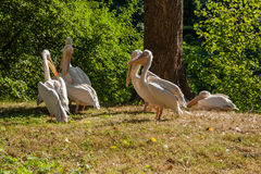 Pelicans bask in the sun. Close up Royalty Free Stock Images