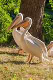 Pelicans bask in the sun. Close up Stock Photography
