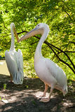 Pelicans bask in the sun. Close up Royalty Free Stock Photography