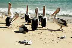 Pelicans On The Beach. Photo is taken in New South Wales, Australia stock photo