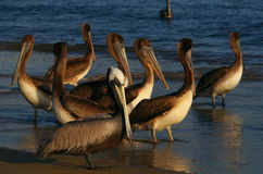 Pelicans at the beach. Of Acapulco Mexico Royalty Free Stock Photo