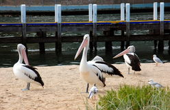 Pelicans on the beach, Lakes Entrance, Australia Stock Image
