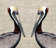 Pelicans on the beach Stock Photo