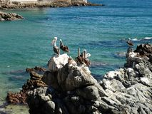 Pelicans on beach. With blue water royalty free stock photos