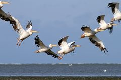 Pelicans in beautiful formations Royalty Free Stock Image