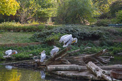 Pelicans. In the Berlin zoo Royalty Free Stock Photo