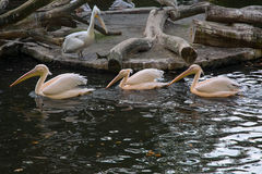 Pelicans. In the Berlin zoo Stock Photo