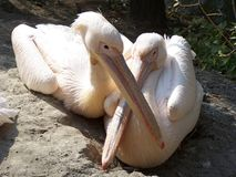 Pelicans. Big, beautiful pelicans in Budapest Zoo royalty free stock photo