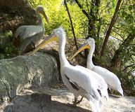 Pelicans. Big, beautiful pelicans in Budapest Zoo royalty free stock photography