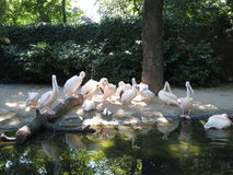 Pelicans. Birds, flock of royalty free stock photos