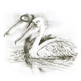 Pelicans. Black and white. Stock Image