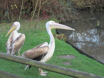Pelicans. In the Blackpool Zoo royalty free stock images