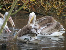 Pelicans. In the Blackpool Zoo stock images