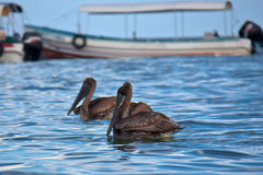Pelicans and a boat. Pelicans in the port of Livingston, Guatemala Stock Photos