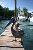 Pelicans. On a boat pier in Florida Royalty Free Stock Image