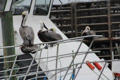 Pelicans. On a boat rail at HarborWalk Village in Destin Florida stock photos