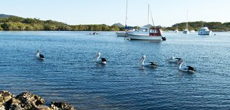 Pelicans and boats. Pelicans and boats on Myall Lake in Australia stock photo