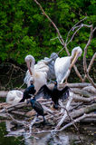 Pelicans on branches above water. Flock of wild great white pelicans or rosy pelicans Stock Photography