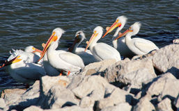Pelicans During Breeding Season Royalty Free Stock Photography