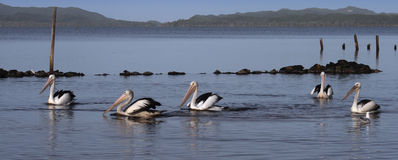 Pelicans on Broke Inlet royalty free stock photos