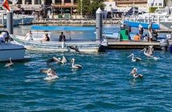 Pelicans in Cabo San Lucas Marina Stock Photography