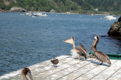 Pelicans on the California coast. Pelicans waiting for food off the Northern California coast Royalty Free Stock Photo