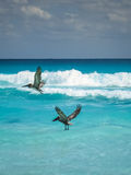 Pelicans in Cancun. Two pelicans playing in the waves of Caribbean Sea Royalty Free Stock Photography