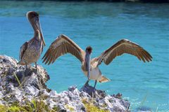 Pelicans in X-Caret park. Grey pelicans in X-caret park in Mexico royalty free stock photos