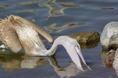 Pelicans catching fish near Lake Hora, Ethiopia stock photography