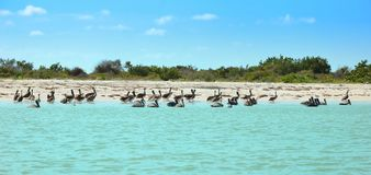 Pelicans  in Celestun Mexic Royalty Free Stock Photography