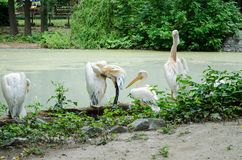 Pelicans clean feathers and looking at the camera near the pond in Kiev zoo stock image