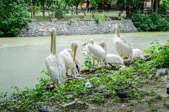Pelicans clean feathers near the pond in Kiev zoo royalty free stock photography