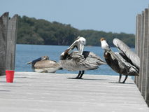 Pelicans cleaning feathers. After their nap, these beautiful pelicans are cleaning their feathers on their wood dock, while their friend continues his nap Royalty Free Stock Photography