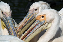 Pelicans close-up Royalty Free Stock Photos