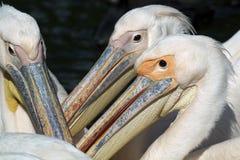 Pelicans close-up. Three Pelicans close-up portrait royalty free stock photos