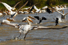 Pelicans and cormoran Stock Photography