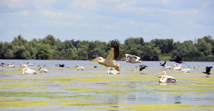 Pelicans and cormorans taking off in the Danube. River delta, Romania Royalty Free Stock Photography
