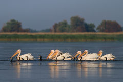 Pelicans and cormorants Royalty Free Stock Photography
