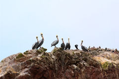 Pelicans, Cormorants and Boobies on the rocks royalty free stock photography