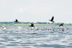 Pelicans and cormorants flocks flying Royalty Free Stock Image