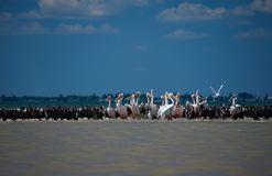 Pelicans and cormorants in the mouth of the Danube, where the river flows into the Black Sea against a blue sky with white clouds royalty free stock image