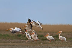 Pelicans in the Danube Delta Stock Photography