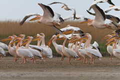 Pelicans in the Danube Delta Royalty Free Stock Photo