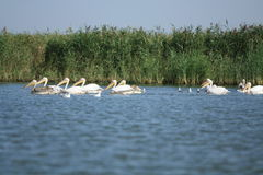 Pelicans. In the Danube Delta, at the Black Sea, at Saint Gheorghe Royalty Free Stock Images